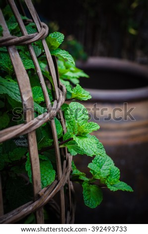 Mint leaves.Mint leaves.Mint leaves background.peppermint.leaves of mint on green background.Closeup of fresh mints leaves texture or abstract background in the garden.Growing mint leaves - stock photo