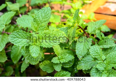 Mint leaves.Mint leaves.Mint leaves background.peppermint.leaves of mint on green background.Closeup of fresh mints leaves texture or abstract background.Background. melissa in the garden. - stock photo