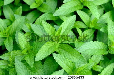 Mint leaves.Mint leaves.Mint leaves background.peppermint.leaves of mint on green background.Closeup of fresh mints leaves texture or abstract background. - stock photo