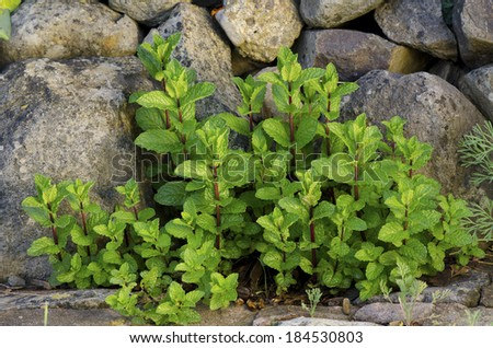 mint plant sprouts - stock photo