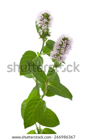 mint with flowers isolated on white background - stock photo