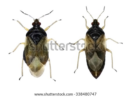 Minute pirate bug (Orius. Family Anthocoridae) - It is an insectivore; it kills and eats other small insects, spider mites and insect eggs - stock photo