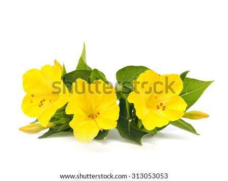 Mirabilis or four o'clock flowers on a white background - stock photo