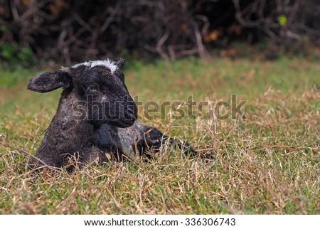 Miracle of birth â?? newborn black lamb - stock photo