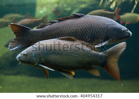Mirror carp (Cyprinus carpio carpio) and wild common carp (Cyprinus carpio) in the background. Wild life animal.  - stock photo