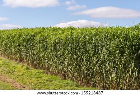 miscanthus giganteus- elephant grass green energy source - stock photo