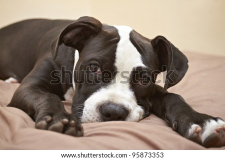 Mischievous expression of Pit Bull puppy - stock photo