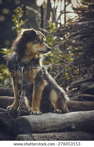 Miserable and hungry chained dog in the backyard. - stock photo