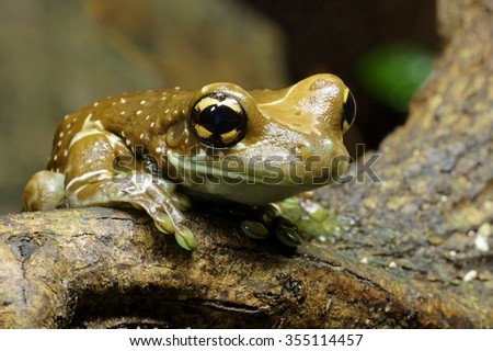 Mission golden-eyed tree frog - stock photo