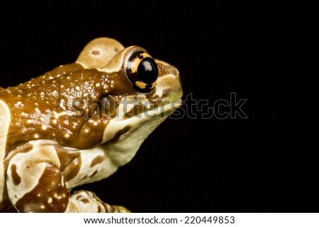 Mission golden-eyed tree frog or Amazon milk frog (Trachycephalus resinifictrix) close up. An arboreal frog which lives in the Amazonian rainforest - stock photo