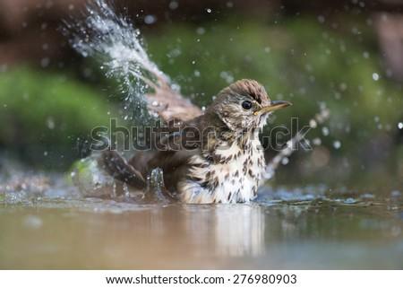 Mistle Thrush bathing with many splashes i nature water - stock photo