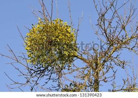 Mistletoe on a tree against blue sky. - stock photo
