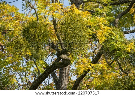 Mistletoe on convoluted tree - stock photo