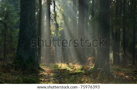 Misty autumnal coniferous stand of Bialowieza Forest at sunrise with old spruces in foreground - stock photo