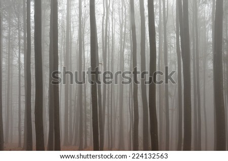 Misty forest - tree trunks in the fog. - stock photo