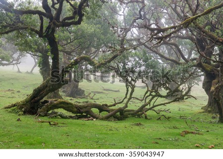 Misty laurel forest near Fanal on the island of Madeira, Portugal - stock photo
