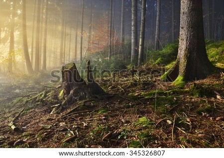 Misty morning in the spruce forest - stock photo