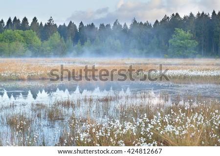 misty morning on wild forest swamp, Drenthe, Netherlands - stock photo
