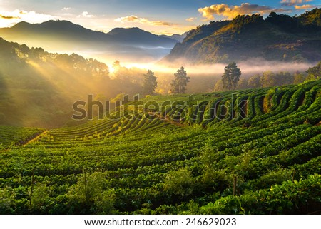 misty morning sunrise in strawberry garden at doi angkhang mountain, chiangmai : thailand - stock photo
