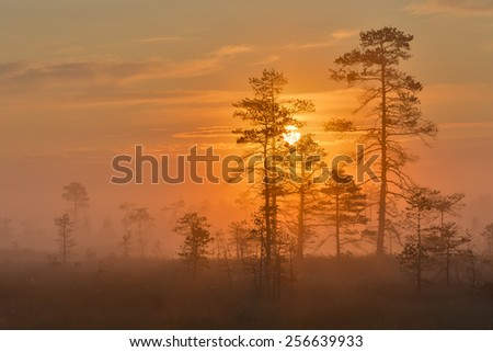 Misty sunrise in the bog with pine trees in the foreground. - stock photo