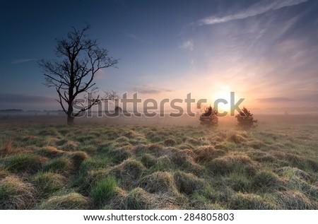 misty sunrise over marsh with old tree, North Brabant, Netherlands - stock photo
