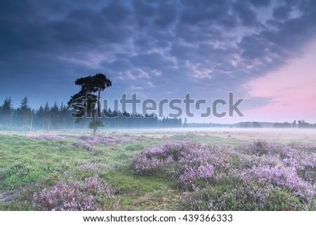 misty sunrise with flowering heather, Friesland, Netherlands - stock photo