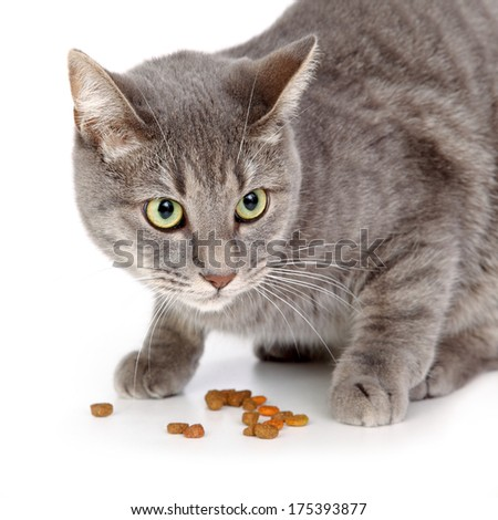 Mix breed domestic gray cat and food - stock photo
