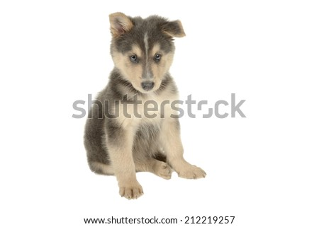 mix breed puppy - stock photo