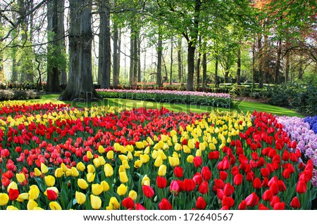 Mix of Holland tulips and spring hyacinths  - stock photo