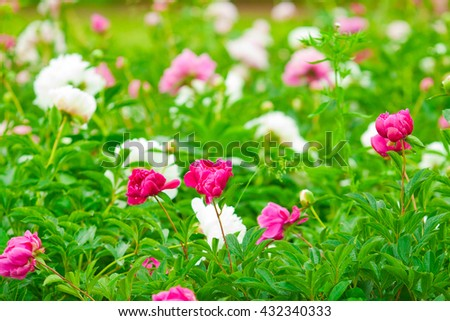 mix peonies buds in bloom, summer day - stock photo