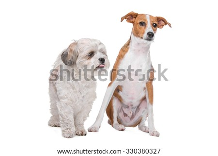 mix shih tzu and maltese and a mix podenco dog in front of a white background - stock photo