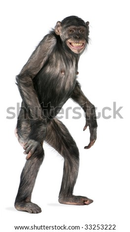 Mixed-Breed between Chimpanzee and Bonobo (8 years old) - stock photo