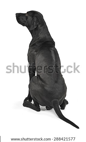 Mixed breed black dog showing his ridge back  in white studio - stock photo