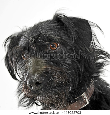 Mixed breed black wired hair dog portrait in white studio - stock photo