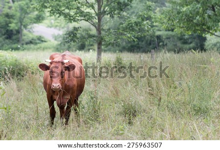 Mixed-Breed, Brown Cow in a Pasture on an Organic Farm in Upstate NY - stock photo