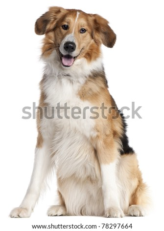 Mixed-breed dog, 2 and a half years old, sitting in front of white background - stock photo