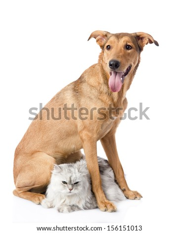 mixed breed dog and persian cat. looking at camera. isolated on white background - stock photo