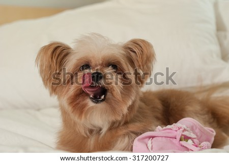 mixed breed dog licking nose in bed - stock photo