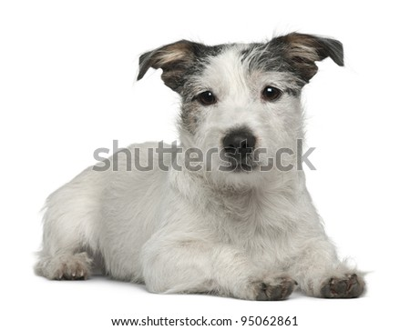 Mixed-breed dog, 7 months old, lying in front of white background - stock photo