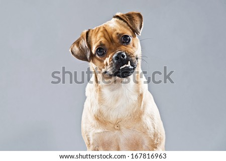 Pug Mixed Breed Dogs