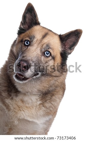 mixed breed dog. shepherd and husky - stock photo