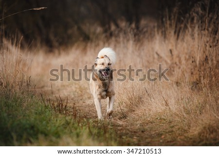 Mixed breed dog walking in autumn park - stock photo