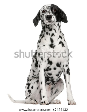 Mixed breed dog with a Dalmatian, 2 years old, sitting in front of white background - stock photo