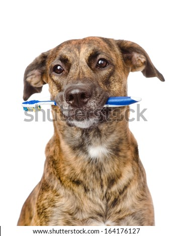mixed breed dog with a toothbrush. isolated on white background - stock photo