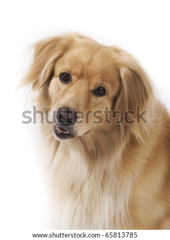 Mixed breed dog with long hair portrait isolated on white background - stock photo