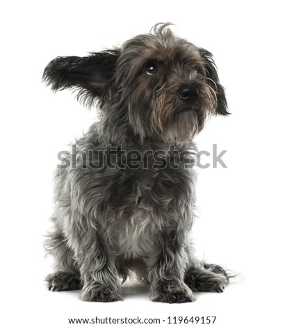 Mixed-breed dog, 3 years old, sitting and looking away against white background - stock photo