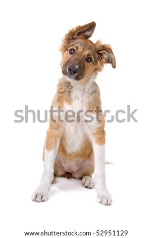 mixed breed German shepherd puppy isolated on a white background - stock photo