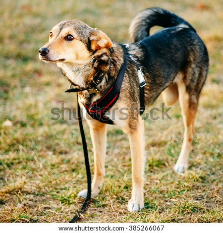 Mixed Breed Medium Size Three Legged Dog. Outdoor Dog Portrait With Only Three Legs. - stock photo
