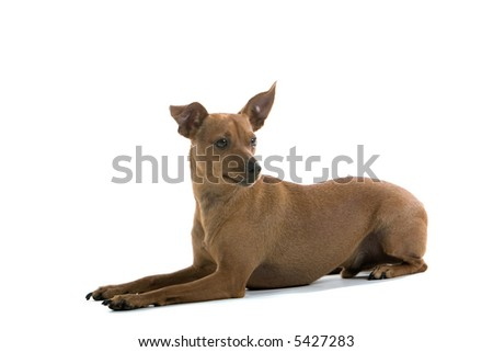 mixed breed Pinscher dog laying on the floor.isolated on a white background - stock photo