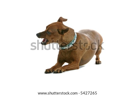 mixed breed Pinscher laying on the floor and barking - stock photo